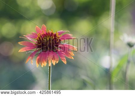 Gaillardia is a genus of flowering plants in the sunflower family, Asteraceae,   native to North and