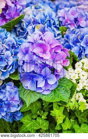Blue Hydrangea, Hortensia, Bright Flower Head Close-up, Perfect Garden Decoration