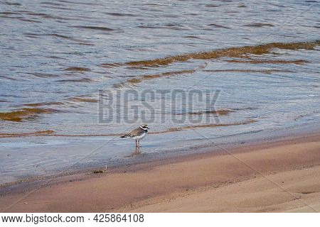 Small Gray Bird Big-billed Plover On Sandy Beach. Greater Sand Plover-charadrius Leschenaultii