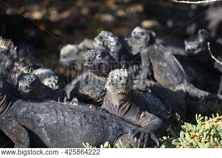 Group Of Marine Iguanas (amblyrhynchus Cristatus) Huddled Together Over Rocks Galapagos Islands, Ecu