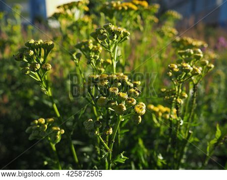 Tansy, Tanacetum, a genus of perennial herbaceous plants and shrubs of the Asteraceae family. Severa