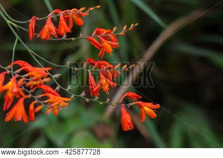 Crocosmia Crocosmiiflora Red Flowers Also Known As Montbretia, Perennial Vivid And Beautiful Plant