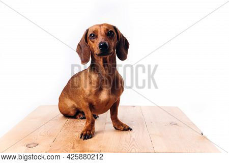 Purebred Dog Dachshund With Shiny Hair. A Companion Dog And A Friend.
