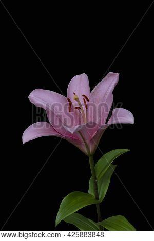 Beautiful Pink Lily Flower, Isolated On Black Background. Lily Lilium Hybrids Flower.