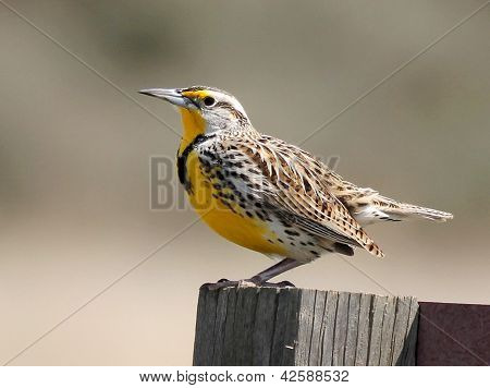 Western Meadowlark Perched on a Signpost