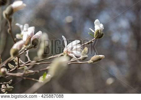 Natural Background Of Magnolia Flowers Close-up Without Leaves In Moscow Park Springtime