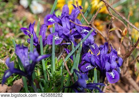 Beautiful Spring Blue Flowers, Close-up. Spring Summer Floral Background. Selective Focus.