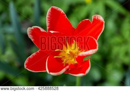Red Beautiful Spring Flower, Tulip In The Flowerbed