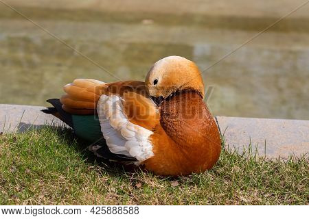 Unusual Orange Duck Ogar Near The Pond In Moscow Russia