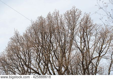 Bare Tree Branches On A Dull Blue Gray Spring Sky Background With Selective Focus