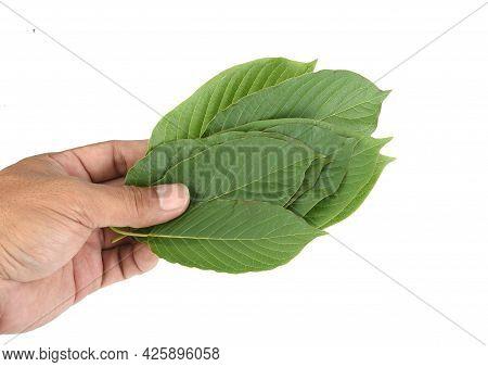 Mitragyna Speciosa,kratom Leaves Isolated On White Background