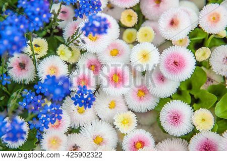 Blooming daisies and forget-me-not flowers from above