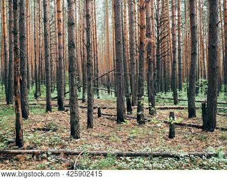 Pine Forest, Landscape, Background. Trunks Of Pine Trees In The Forest, Summer, Day.