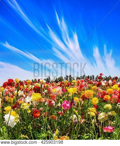Cirrus clouds in the blue sky. Spring in Israel. Bright beautiful multi-colored garden buttercups grow in a kibbutz field. Wonderful trip for spring beauty.