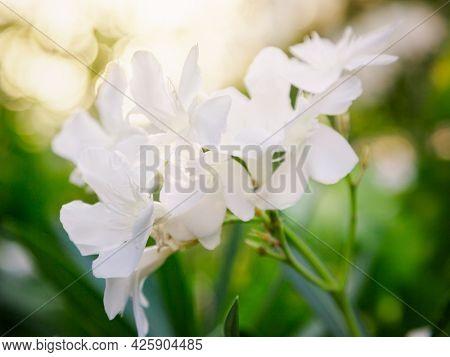 White oleander in the garden