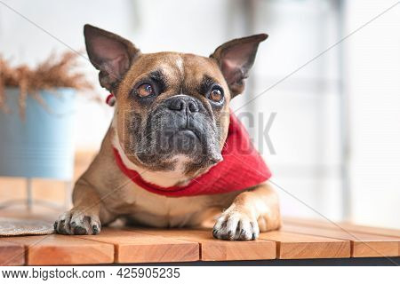 Curious French Bulldog Dog With Pointy Ears Wearing A Red Neckerchief While Lying Down