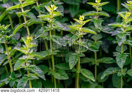 Peppermint In The Flowerbed Of The Farmyard