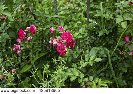 Paper Flowers Or Bougainvillea Are Popular Ornamental Plants.