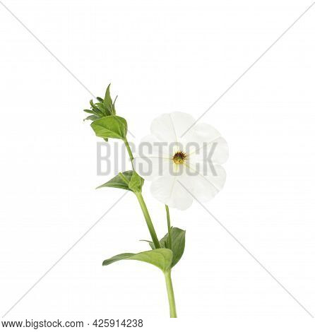 Beautiful White Flower With Green Stem On A White Background, Isolate, Close-up