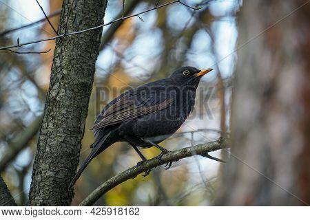 Blackbird (turdus Merula) Waiting On A Branch In The Forest