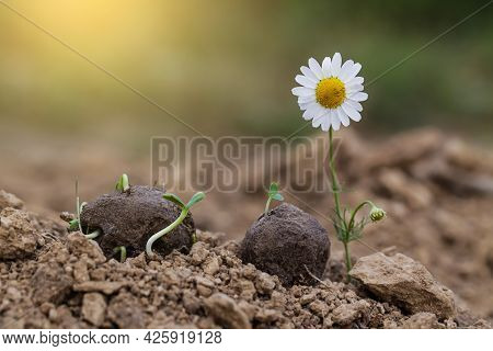 Guerrilla Gardening. Chamomile Wild Flower Plants Sprouting From A Seed Ball. Seed Bombs On Dry Soil