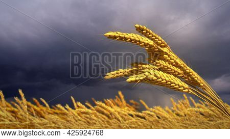 Wheat Spikelets Field With Stormy Clouds , Cgi Nature 3d Rendering