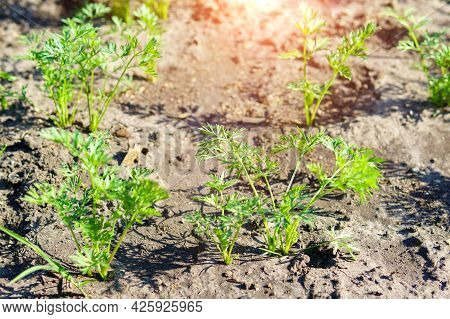 Carrot Plant Is Grown In An Ecological Farm. Green Garden Plants. Selective Focus