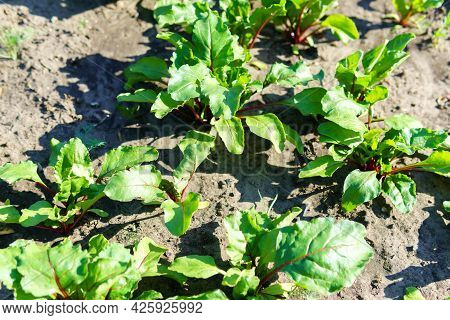 Beet Vegetable Grows In The Garden In The Soil Organic Background. Concept Of Healthy Eco