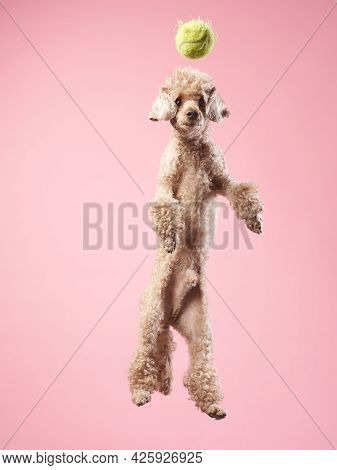 Funny Active Dog Jumping And Catches The Ball. Funny Small Poodle On Pink Background