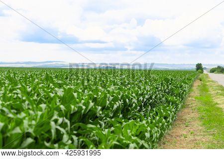Cornfield Along The Road Against The Blue Sky. Corn Seedlings.