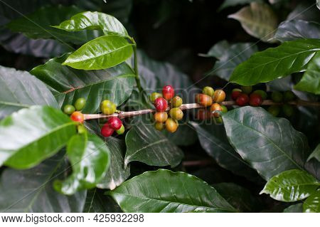 Coffee Beans On A Branch At Coffee Tree Plantation. Fresh Green And Red Juicy Berries Of Coffee At O