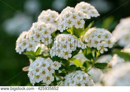 Blossoming White Spirea. Spiraea Nipponica Bush At Summer.