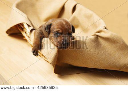 A Newborn Puppy In A Wicker Basket. The Puppy Of The Dwarf Pinscher Is Resting. A Charming Puppy.
