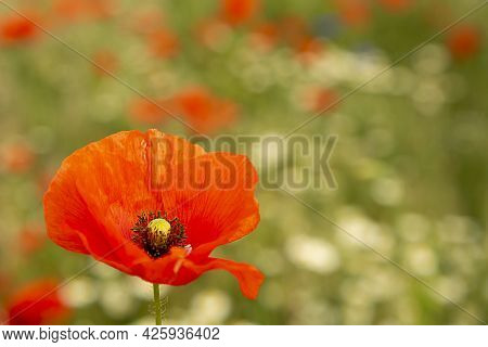 A Poppy Blooms On The Field. A Bright Colorful Flower Blooms In The Field. One Flower On The Backgro
