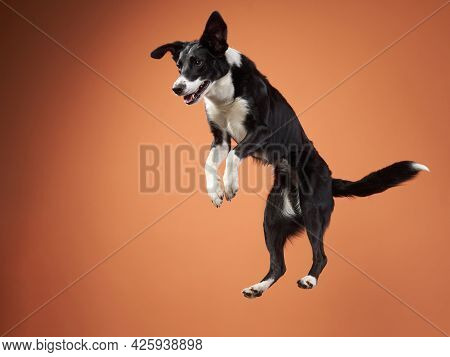 Funny Active Dog Jumping With Disk. Border Collie Flying On Orange Background