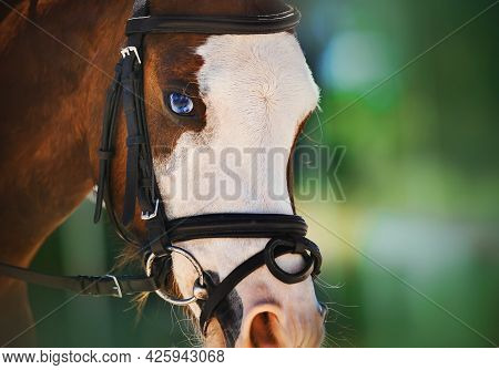 Portrait Of A Beautiful Bay Horse With Bright Blue Eyes And A Bridle On Its Muzzle On A Sunny Summer