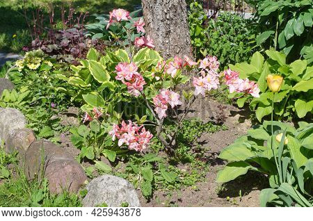 Flowerbed With Japanese Rhododendron (lat. Rhododendron Japonicum) In The Trunk Circle