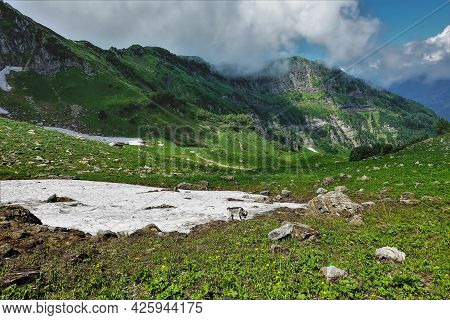 Lush Green Grass And Yellow Wildflowers Grow In Alpine Meadows. A Siberian Husky Dog Is Standing In
