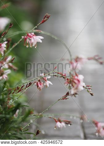 Drop Rain On Beautiful Bouquet Pink Color Flower Blooming In Garden Blurred Of Nature Background Spa