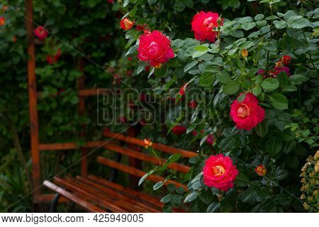 Incredibly Beautiful Delicate Blossoming Yellow-red Rose On The Background Of A Wooden Bench
