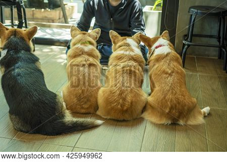 Back Of Group Adorable Pembroke Welsh Corgi Puppy Looking At Owner While Sitting Together At Home. F