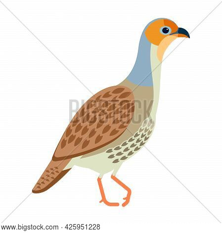 Grey Francolin Is A Species Of Francolin. Francolinus Pondicerianus. Cartoon, Flat Style Character O