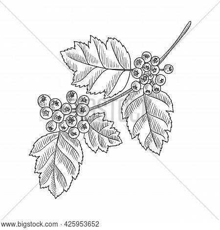 Vector Drawing Branch Of Hawthorn Tree With Leaves And Berries, Crataegus, , Hand Drawn Vintage Illu