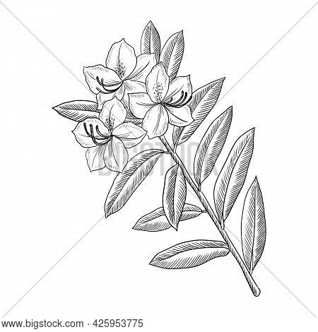 Vector Drawing Flowering Branch Of Rhododendron Tree With Leaves And Flowers, Azalea, Hand Drawn Vin