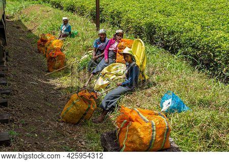 Sri Lankan Women Gather Leaves From Tea Bushes Along The Railway. Tea Production In Sri Lanka. Sri L