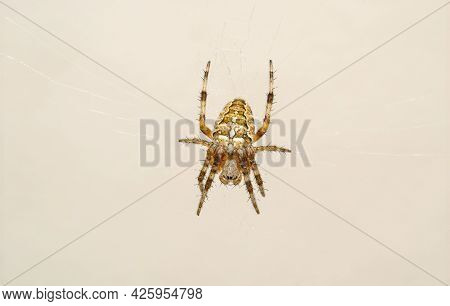 Crusader Spider Araneus Diadematus Is A Spider From The Family Araneidae That Is Recognized By A Cro