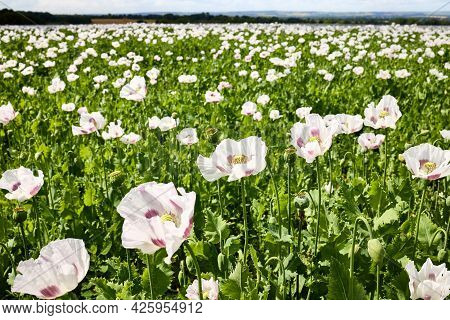 Field Of Flowering Breadseed Poppies, Papaver Somniferum Also Know As Opium Poppy. Shallow Depth Of
