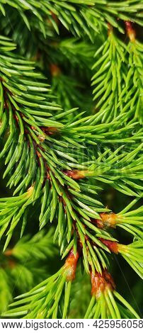 Spruce Branches With Fresh Shoots In Spring. A Young Growing Spruce Tree Sprouts On A Branch. Close-