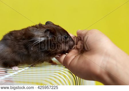 A Syrian Hamster Sits In His Cage And Eats From His Hand.