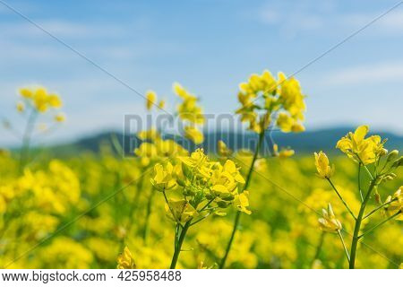 Flowers Of Oilseed Plant Rapeseed On A Background Of Blue Sky. Plant Seeds For The Oil Industry And